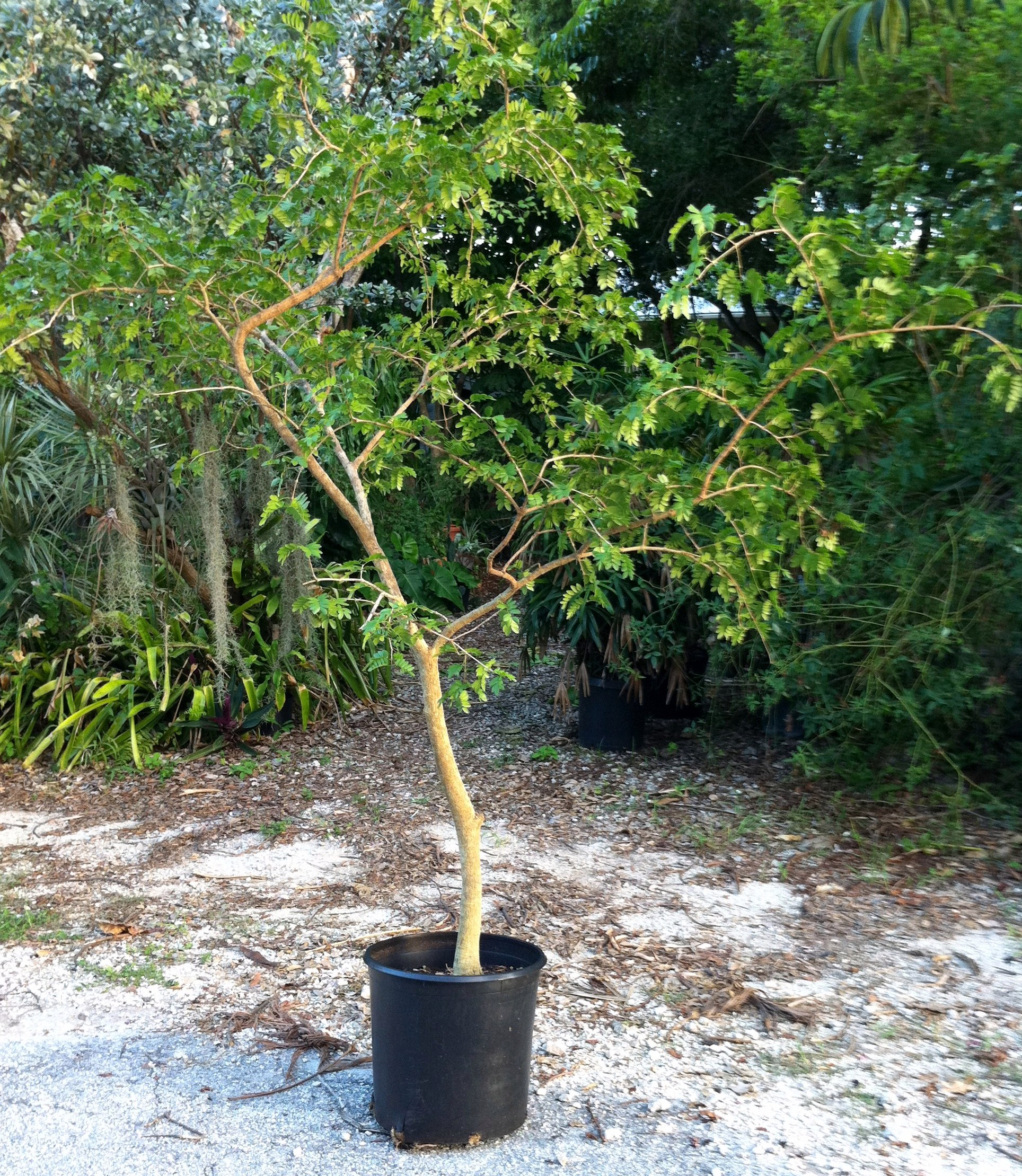 Purchase selling lignum vitae trees from the fl keys for Purchase trees